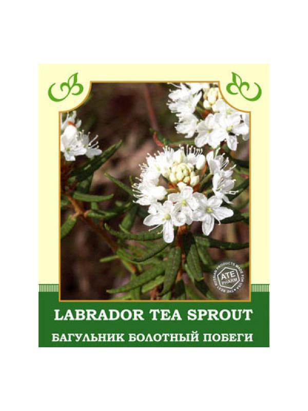 Labrador Tea Sprout